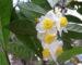 tea_flower